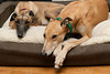 Lola & Zeke : We adopted them from Greyhound Pets, Inc. in Woodinville, WA. Zeke's racing name was LL Ranger Lee. We adopted Zeke on July, 18, 2009.  He spent the first years of his life racing in Colorado. We adopted Lola on August 29, 2009. Her racing name was Rathordan Althia, born at a track in Rhode Island and raced briefly in Florida.  Lola and Zeke have gotten along beautifully from the moment they met at the greyhound rescue, and they have both been wonderful additions to our family. Sadly, we had to say goodbye to Zeke after only two years when he passed away from a nasal cavity tumor on August 26, 2011. He was a happy and affectionate boy who enjoyed meeting other people and dogs. We all miss him terribly.
